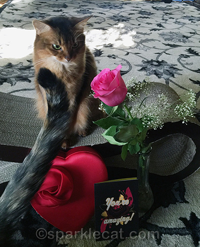 tortoiseshell cat tail in a valentine's day shot with somali cat