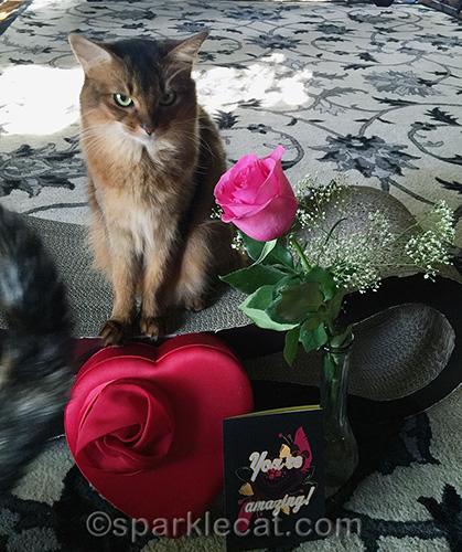Somali cat not happy that tortoiseshell cat is ruining her valentine's day photo session