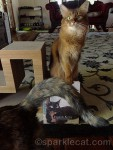 somali cat being photo bombed by tortoiseshell cat