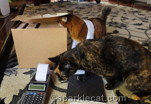 somali cat looking in accordion folder and being photo bombed by tortoiseshell cat