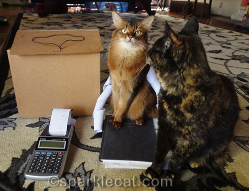 somali cat discovers tortoiseshell cat is photobombing her