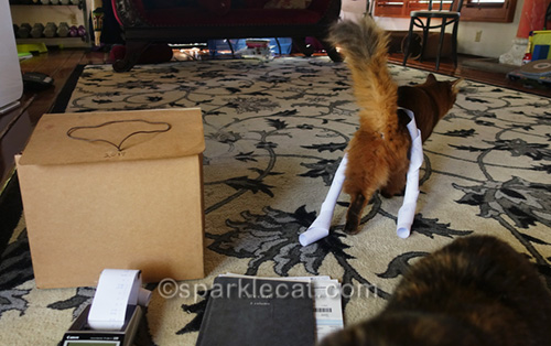 somali cat walking away after putting the books to bed