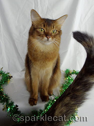 somali cat with tortoiseshell cat tail in the way