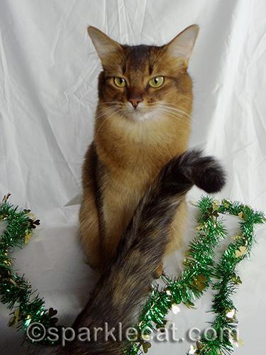 impatient somali cat with tortoiseshell cat tail