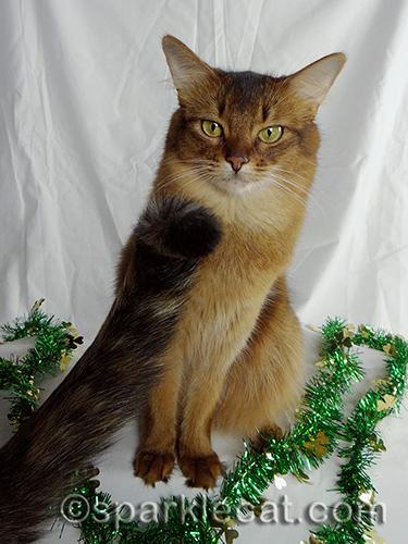 annoyed somali cat with tortoiseshell cat tail