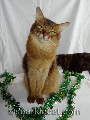 Somali cat posing with tortoiseshell cat in the background