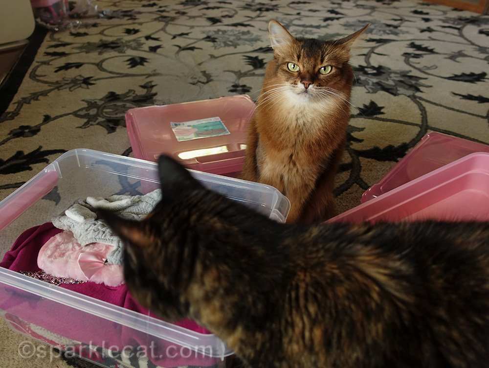 somali cat looking annoyed about tortoiseshell cat examining wardrobe