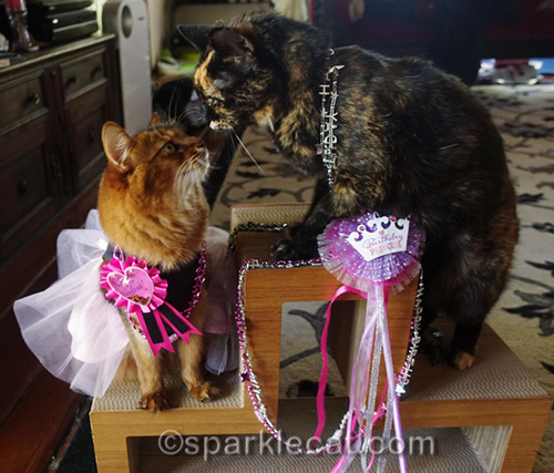 tortoiseshell cat wishing somali cat a happy 4th birthday