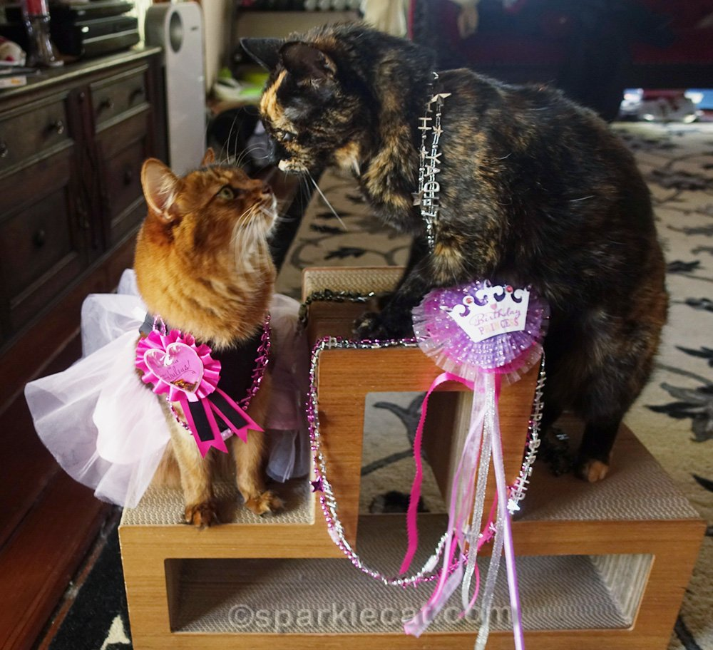 Tortoiseshell cat with birthday girl Somali cat