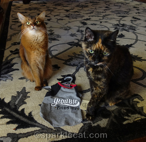 somali cat and tortoiseshell cat with t-shirt that says trouble finds me