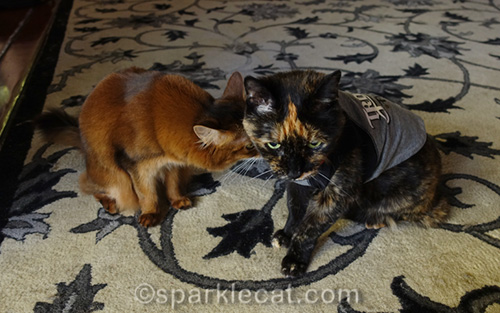 somali cat helping tortoiseshell cat with modeling her perfect shirt