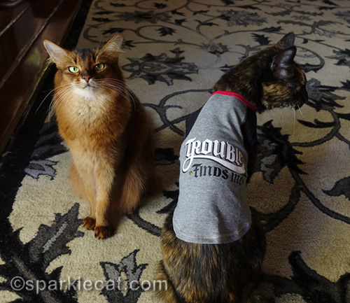 somali cat and tortoiseshell cat wearing t-shirt