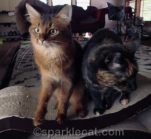 shocked somali cat with tortoiseshell cat