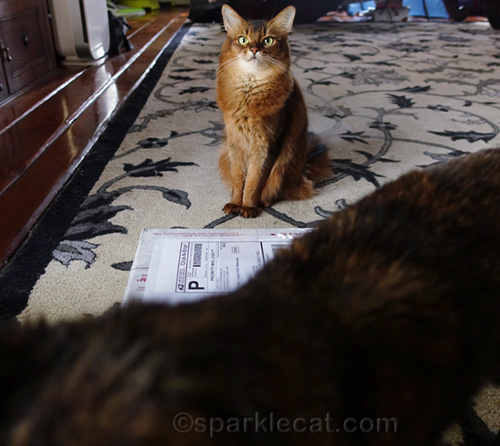 somali cat photo bombed by tortoiseshell cat
