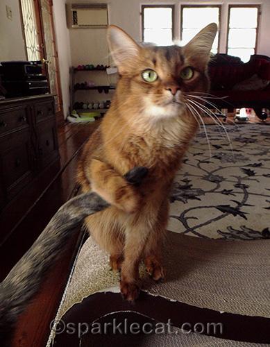 somali cat holding tortoiseshell cat tail
