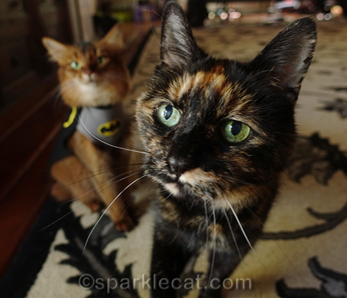 BatCat is upstaged by tortoiseshell cat