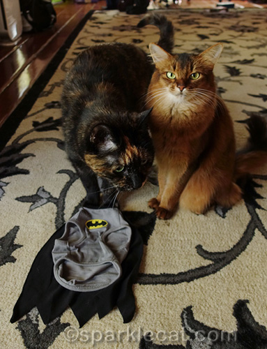 long-suffering somali cat with tortoiseshell cat looking at Batman t-shirt