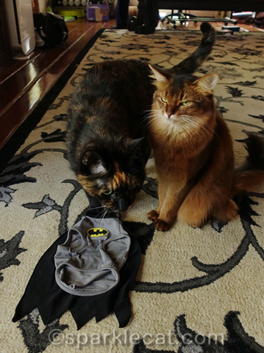 somali cat is mad that tortoiseshell cat is in the way