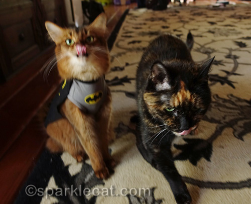 somali cat in batcat t-shirt and tortoiseshell cat, both with tongues out