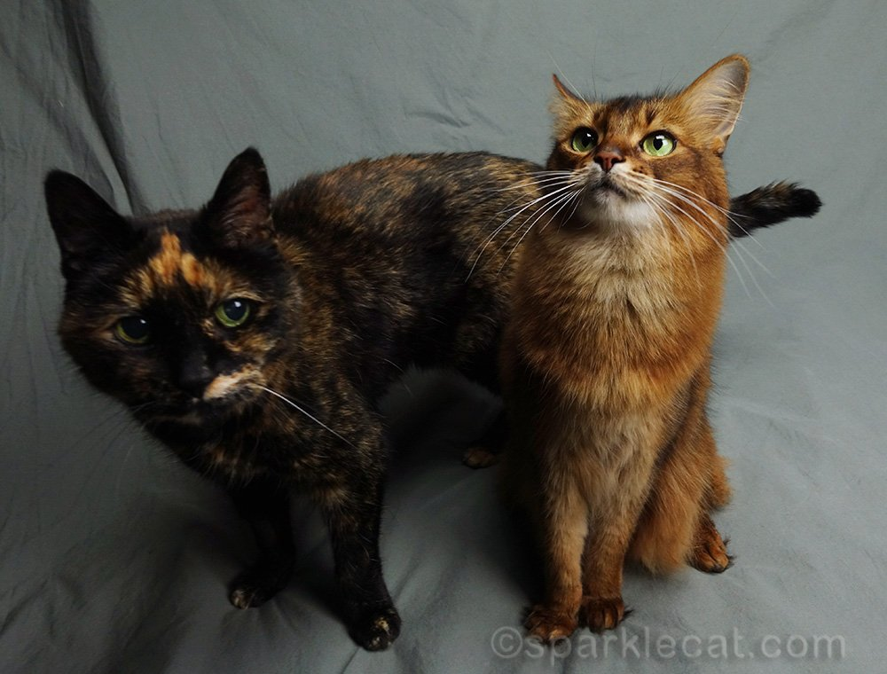 somali cat being photo bombed by tortoiseshell cat for the millionth time