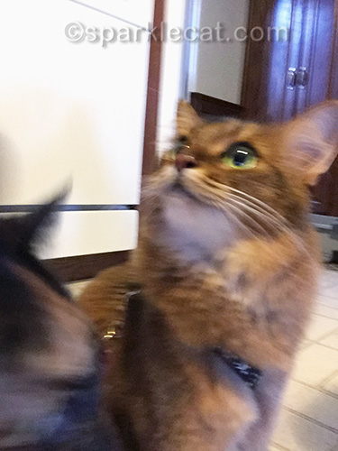 somali cat getting photo bombed by tortoiseshell cat