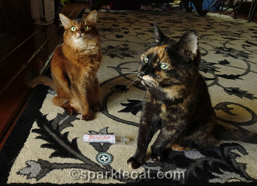 somali cat and tortoiseshell cat waiting for catnip party to start