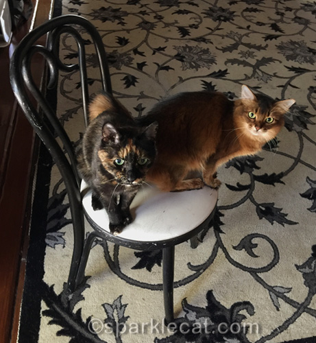 somali cat and tortoiseshell cat take over chair