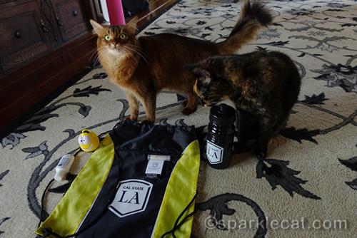 somali cat annoyed by tortoiseshell cat
