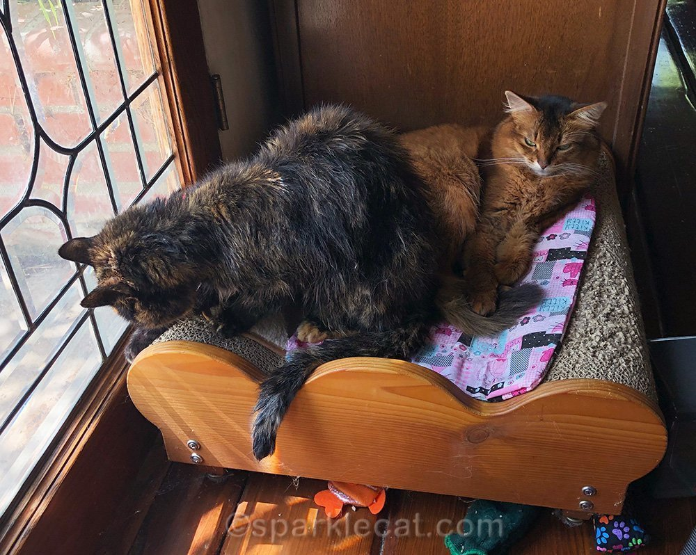 somali cat being interrupted by tortoiseshell cat