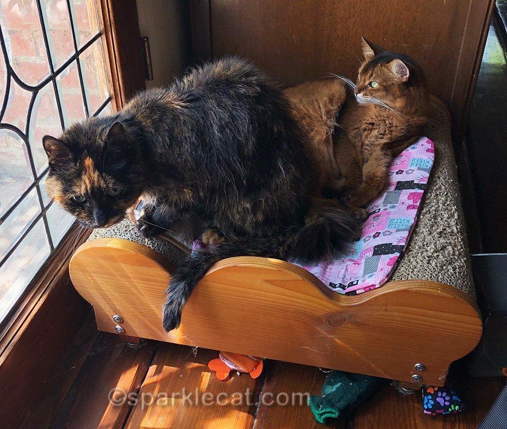 somali cat ignoring interrupting tortoiseshell cat
