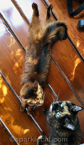 somali cat protecting sun puddle from tortoiseshell cat