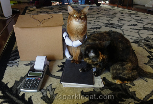 somali cat and tortoiseshell cat helping with bookkeeping