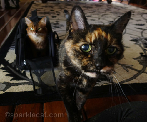 tortoiseshell photo bombing a somali cat