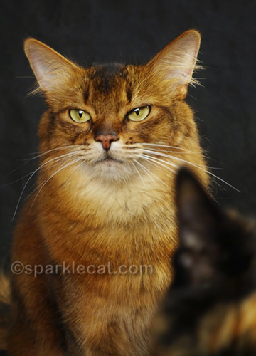 somali cat portrait with tortie ear