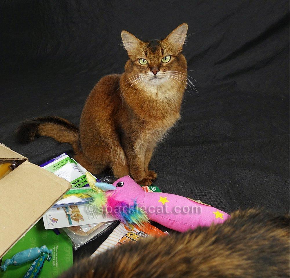 somali cat annoyed that tortoiseshell cat is still there
