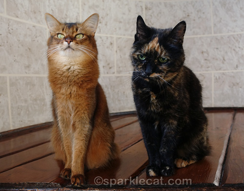 somali cat trying to ignore tortoiseshell cat