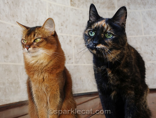 somali cat dealing with tortoiseshell cat photo bomb