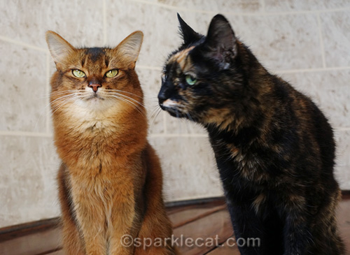 somali cat trying not to listen to tortoiseshell cat