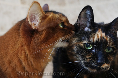somali cat whispering to tortoiseshell cat