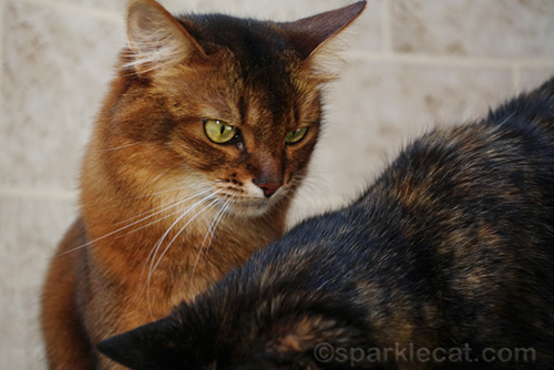 somali cat looking down at tortoiseshell cat