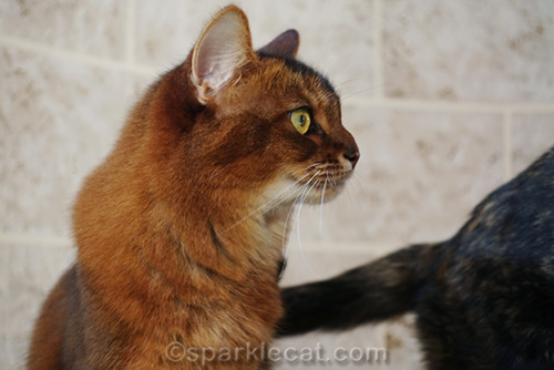 somali cat watching tortoiseshell cat walk off