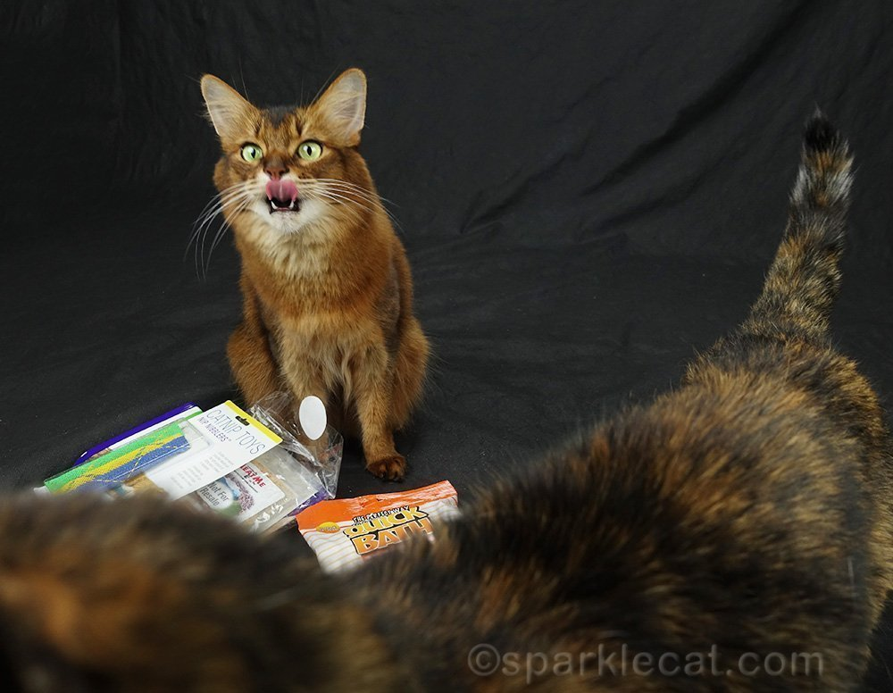 somali cat making a crazy face at photo bombing tortoiseshell cat