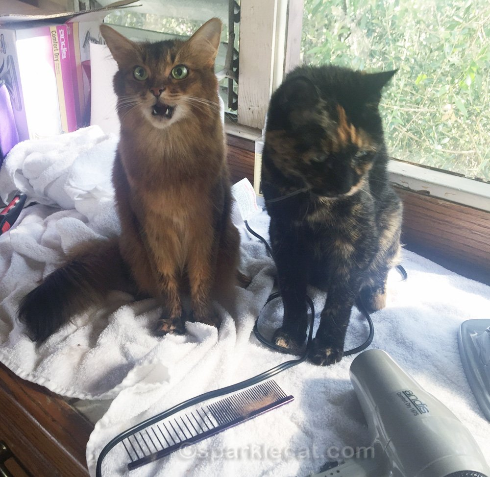 somali cat not happy that tortoiseshell cat is in her grooming area