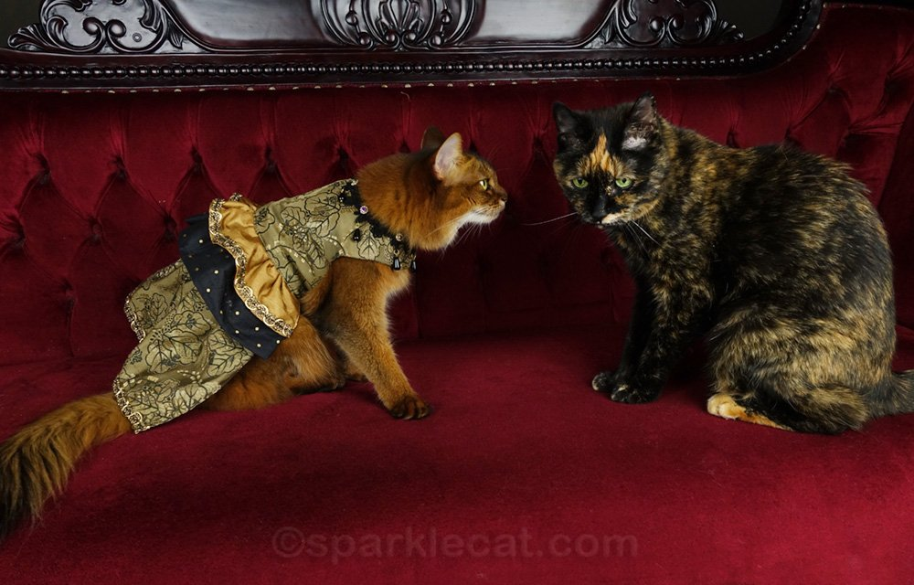 somali cat in a fancy dress, being photo bombed by tortoiseshell cat