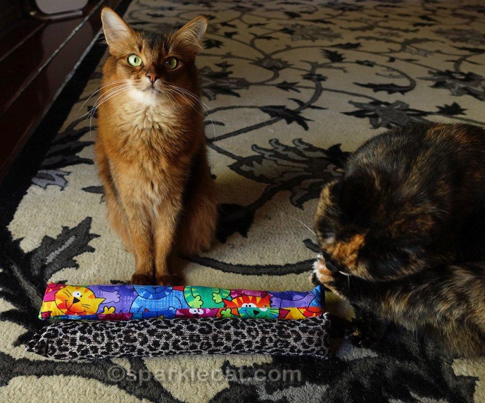 somali cat mortified by tortoiseshell cat's behavior