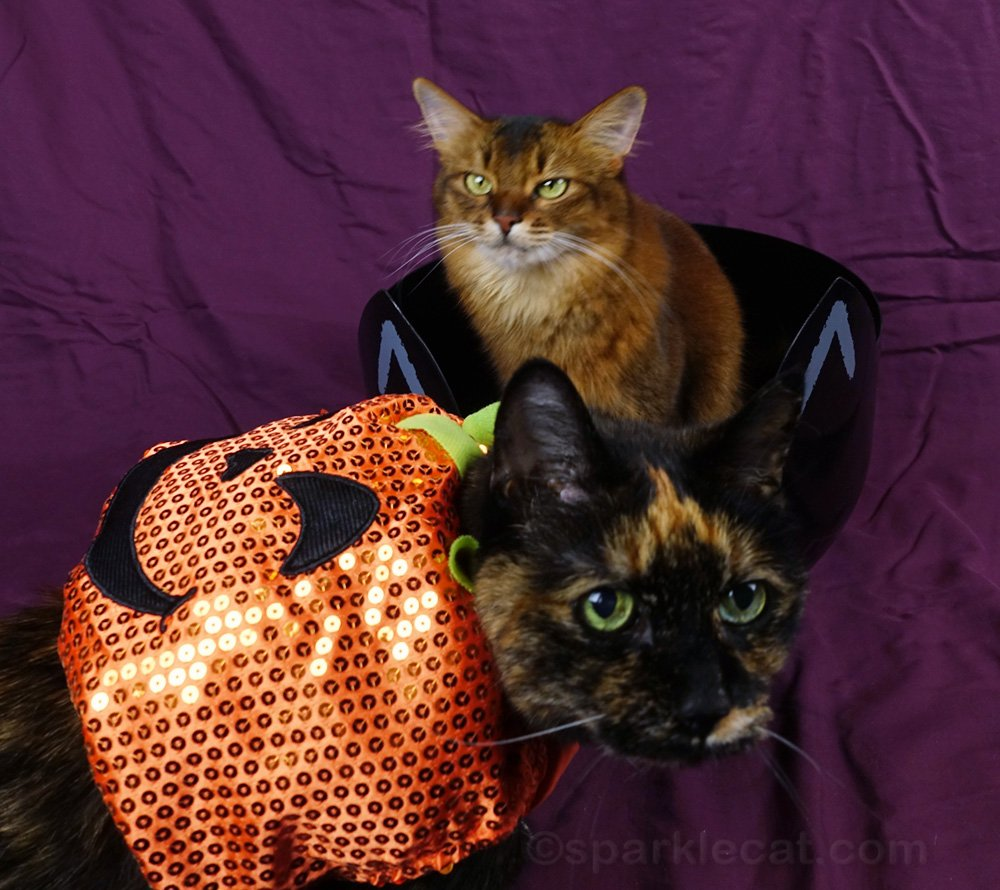 somali cat with long suffering look and tortoiseshell cat in pumpkin costume in foreground