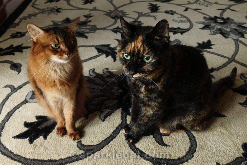 somali cat looking at tortoiseshell cat