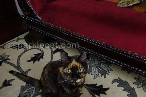 Tortoiseshell cat invading photo session
