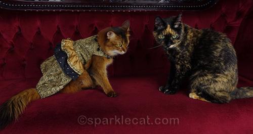 somali cat chastised by tortoiseshell cat