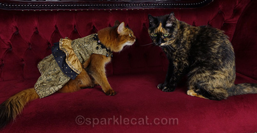 somali cat giving tortoiseshell cat a talking to
